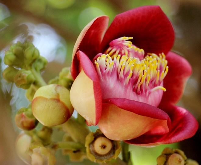 Tổng hợp những hình ảnh về hoa sala đẹp nhất